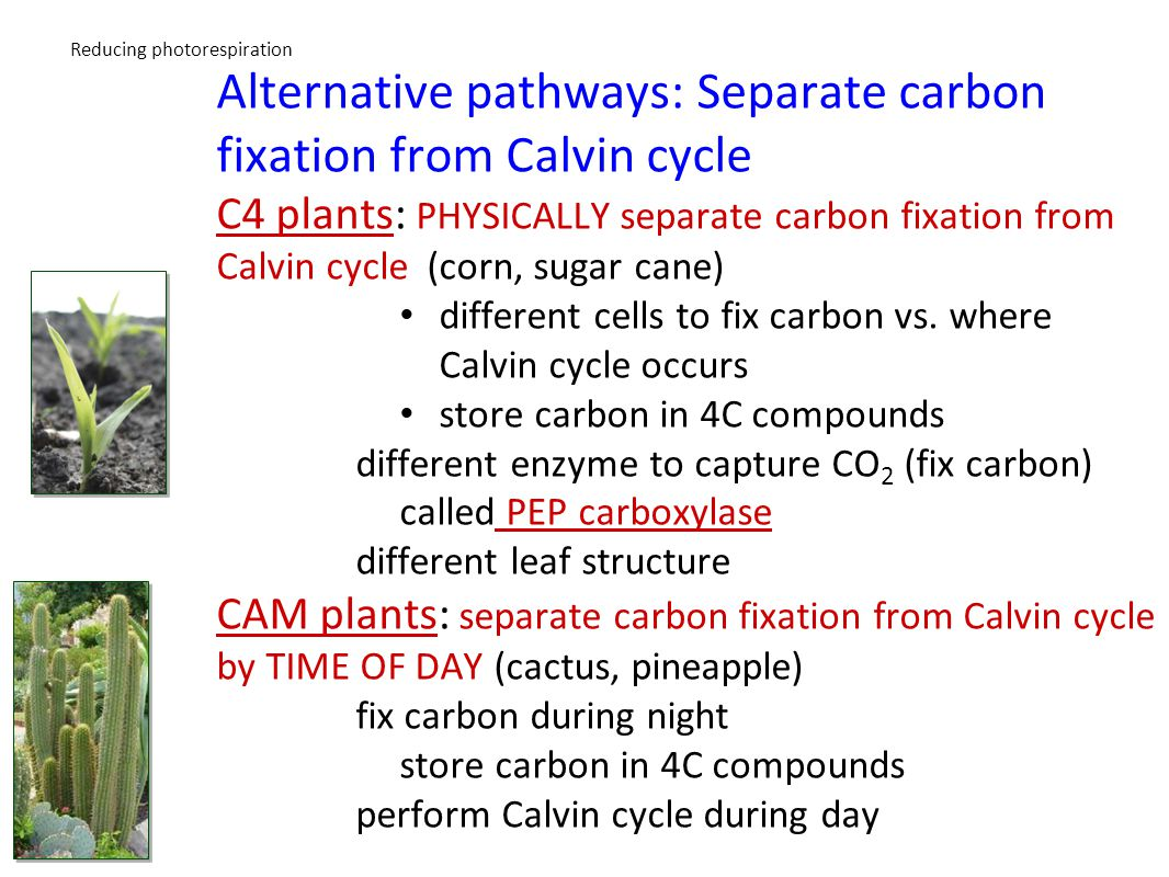 Figure 7.10 C4 plants and CAM plants use an alternate pathway to FIX carbon dioxide from the air.
