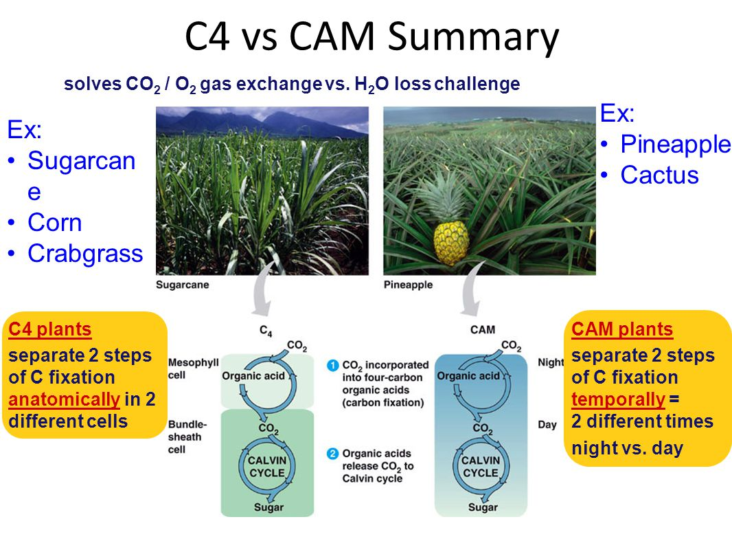 Reducing photorespiration Alternative pathways: Separate carbon fixation from Calvin cycle C4 plants: PHYSICALLY separate carbon fixation from Calvin