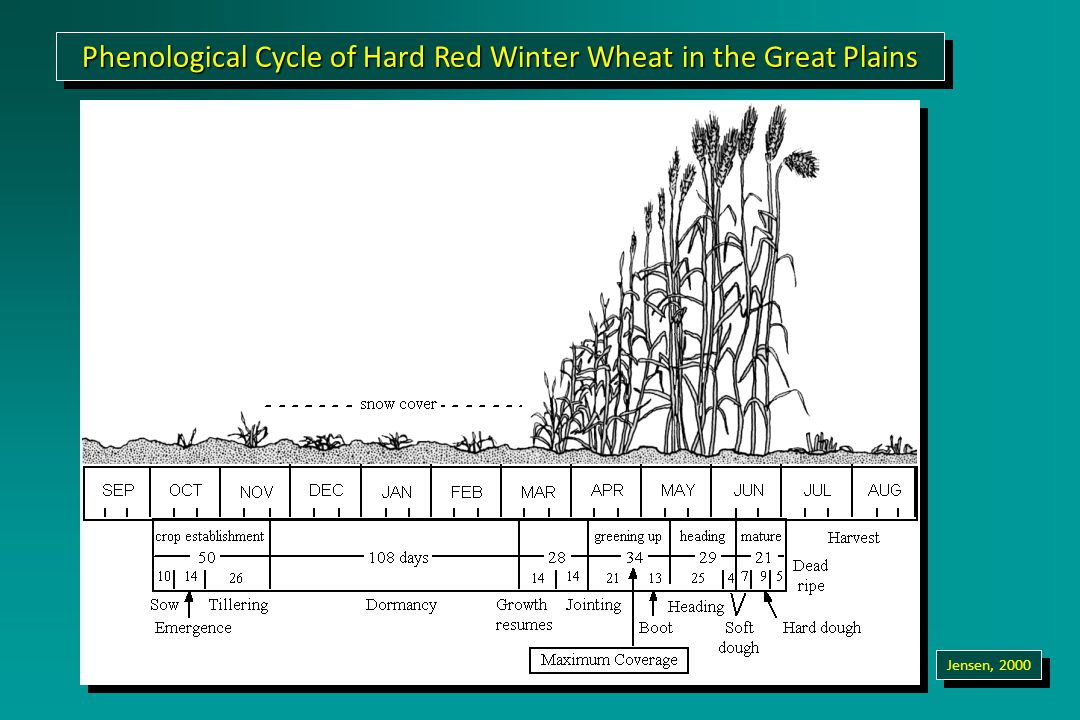 Phenological Cycle of Hard Red Winter Wheat in the Great Plains Jensen, 2000