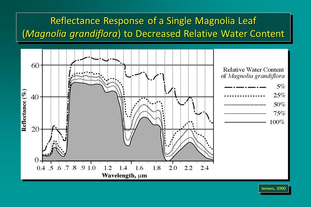 Reflectance Response of a Single Magnolia Leaf (Magnolia grandiflora) to Decreased Relative Water Content Reflectance Response of a Single Magnolia Leaf (Magnolia grandiflora) to Decreased Relative Water Content Jensen, 2000