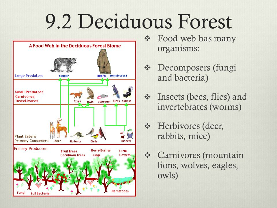 9.2 Deciduous Forest  Food web has many organisms:  Decomposers (fungi and bacteria)  Insects (bees, flies) and invertebrates (worms)  Herbivores