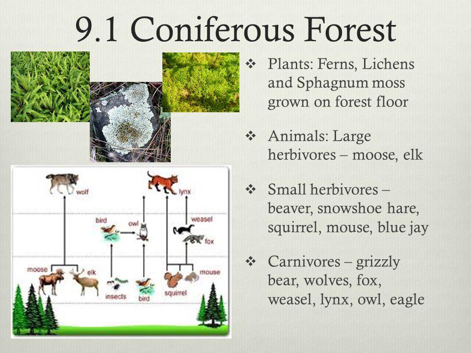 9.1 Coniferous Forest  Plants: Ferns, Lichens and Sphagnum moss grown on forest floor  Animals: Large herbivores – moose, elk  Small herbivores – b