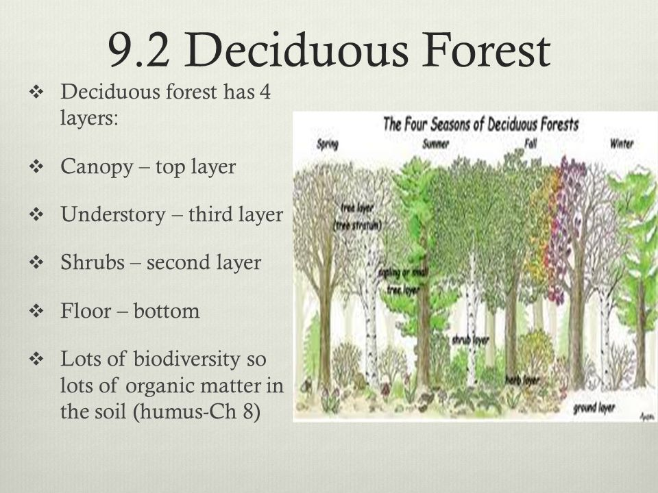 9.2 Deciduous Forest  Deciduous forest has 4 layers:  Canopy – top layer  Understory – third layer  Shrubs – second layer  Floor – bottom  Lots