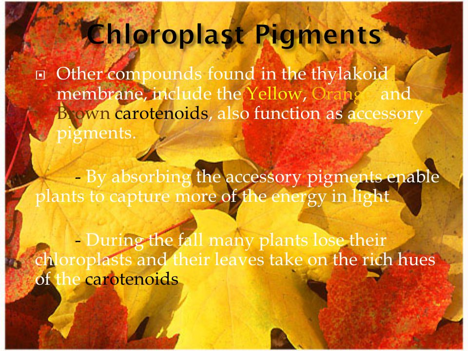  Other compounds found in the thylakoid membrane, include the Yellow, Orange, and Brown carotenoids, also function as accessory pigments. - By absorb