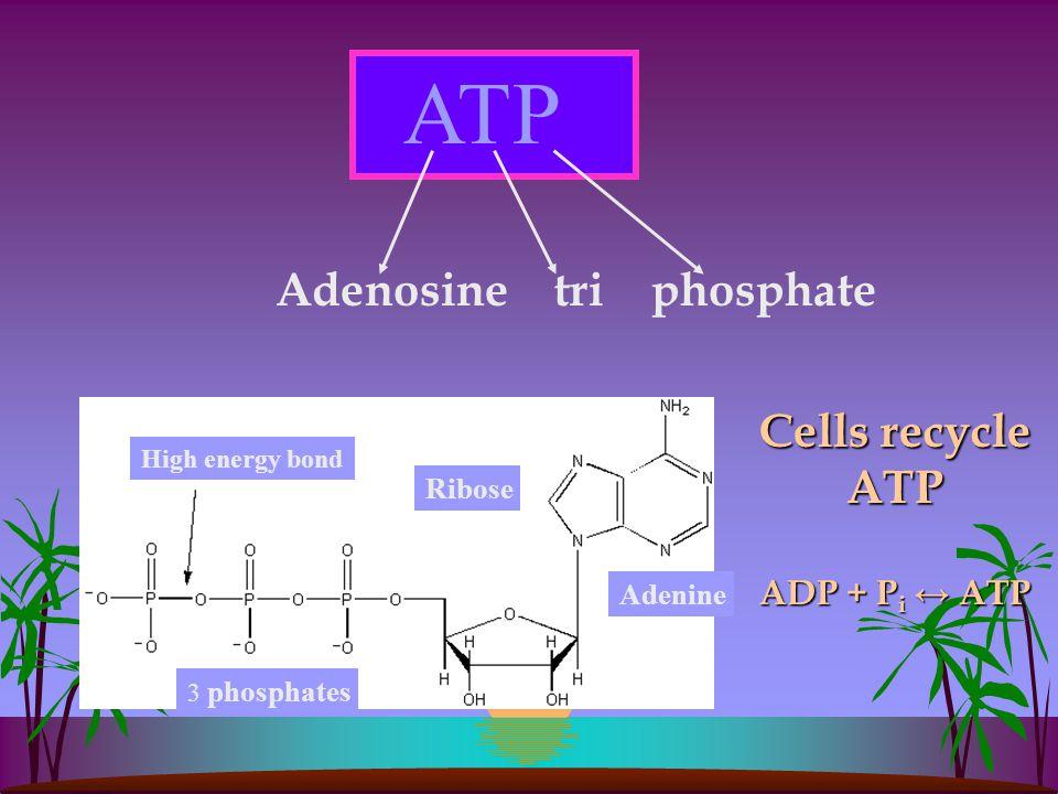 ATP Adenosine tri phosphate Ribose 3 phosphates Adenine High energy bond Cells recycle ATP ADP + P i ↔ ATP