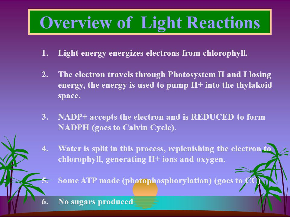 Overview of Light Reactions 1.Light energy energizes electrons from chlorophyll.