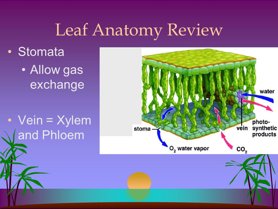 Leaf Anatomy Review Stomata Allow gas exchange Vein = Xylem and Phloem