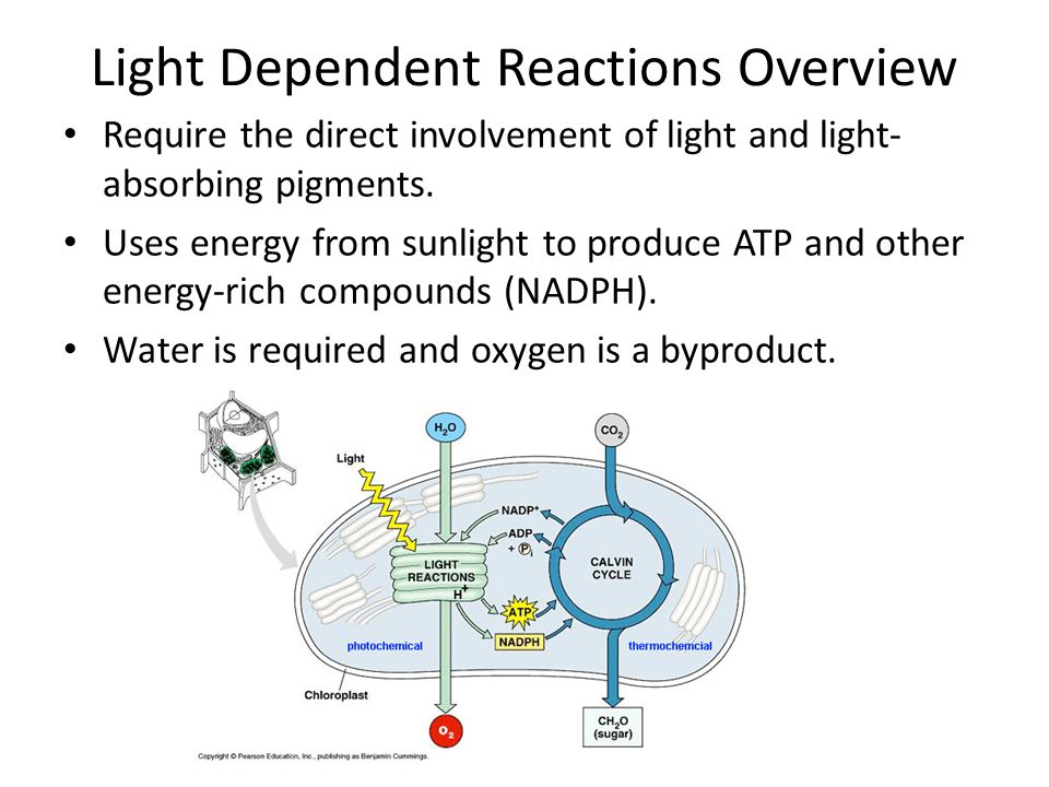 Light Dependent Reactions Overview Require the direct involvement of light and light- absorbing pigments. Uses energy from sunlight to produce ATP and