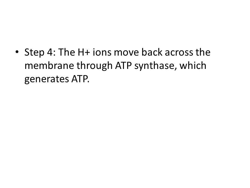 Step 4: The H+ ions move back across the membrane through ATP synthase, which generates ATP.