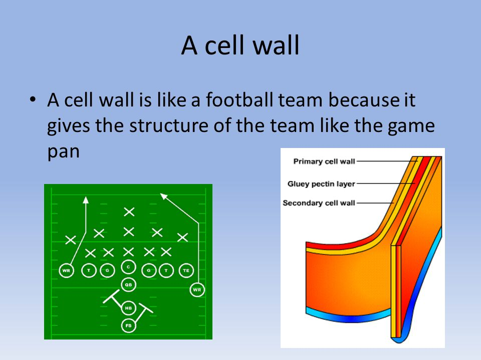 A cell wall A cell wall is like a football team because it gives the structure of the team like the game pan
