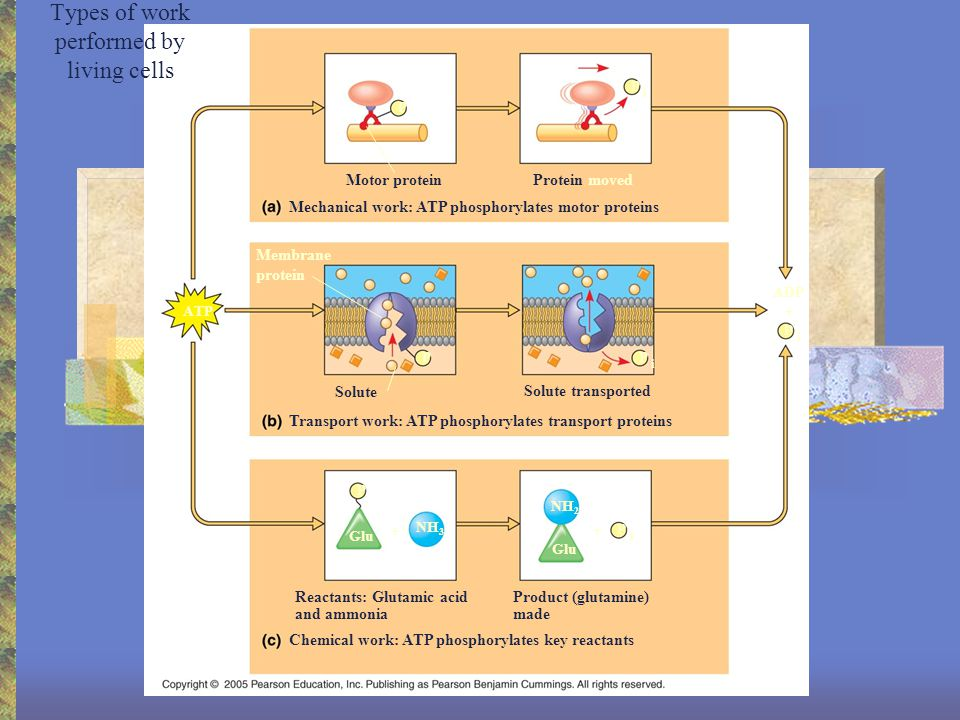 Types of work performed by living cells NH 2 Glu P i P i P i P i NH 3 P P P ATP ADP Motor protein Mechanical work: ATP phosphorylates motor proteins Protein moved Membrane protein Solute Transport work: ATP phosphorylates transport proteins Solute transported Chemical work: ATP phosphorylates key reactants Reactants: Glutamic acid and ammonia Product (glutamine) made + + +
