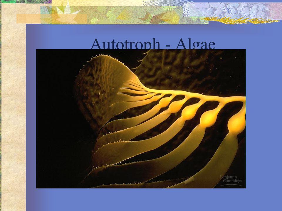 Autotroph - Algae