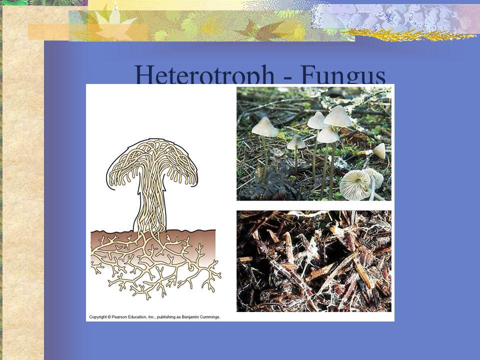 Heterotroph - Fungus