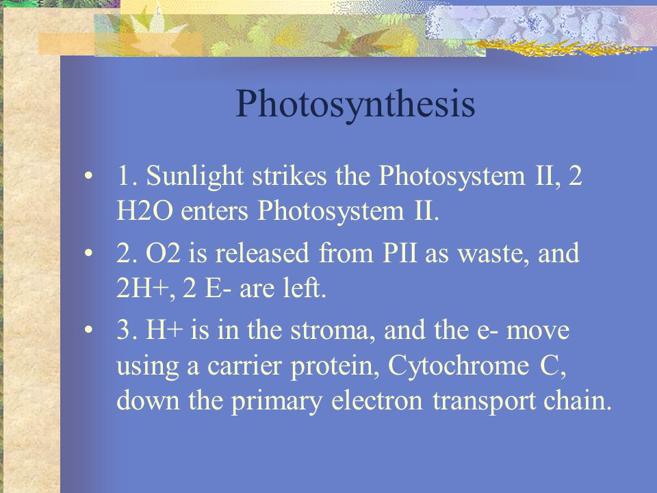 Photosynthesis 1. Sunlight strikes the Photosystem II, 2 H2O enters Photosystem II.