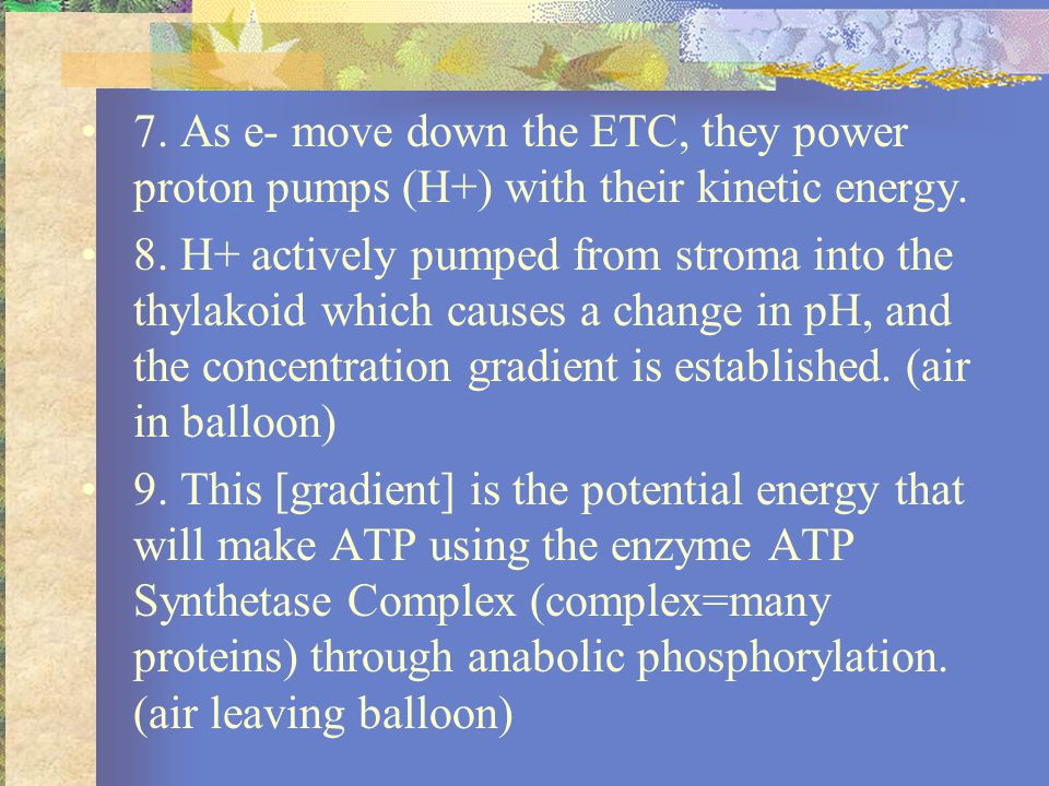 7. As e- move down the ETC, they power proton pumps (H+) with their kinetic energy.