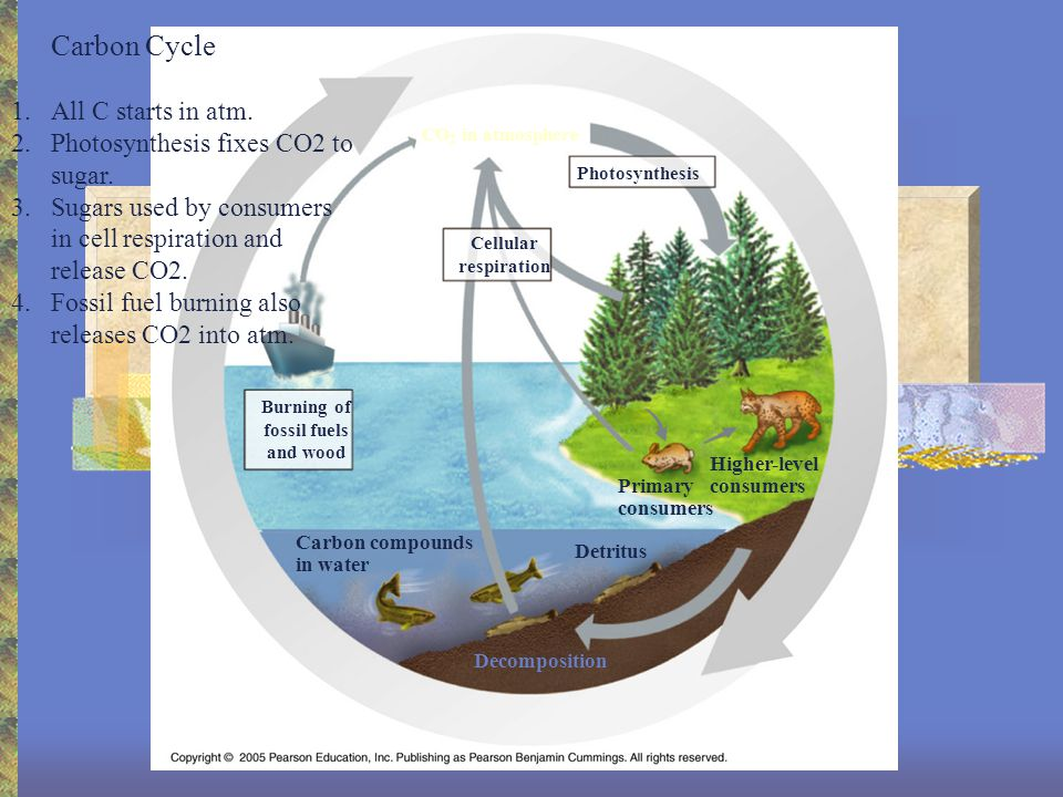Carbon Cycle Cellular respiration Burning of fossil fuels and wood Carbon compounds in water Photosynthesis Primary consumers Higher-level consumers Detritus Decomposition CO 2 in atmosphere 1.All C starts in atm.