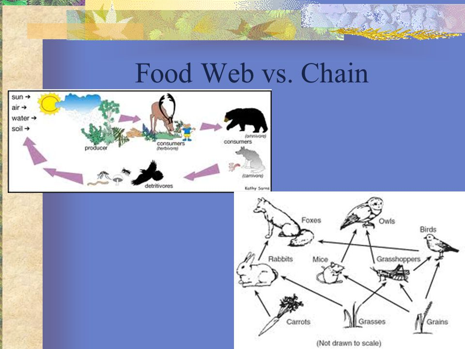 Food Web vs. Chain