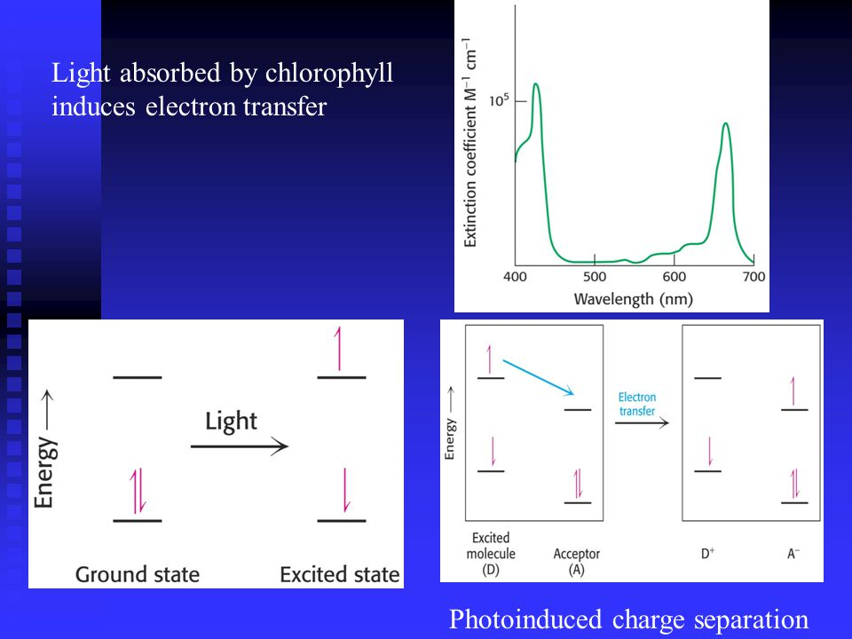 Photoinduced charge separation Light absorbed by chlorophyll induces electron transfer