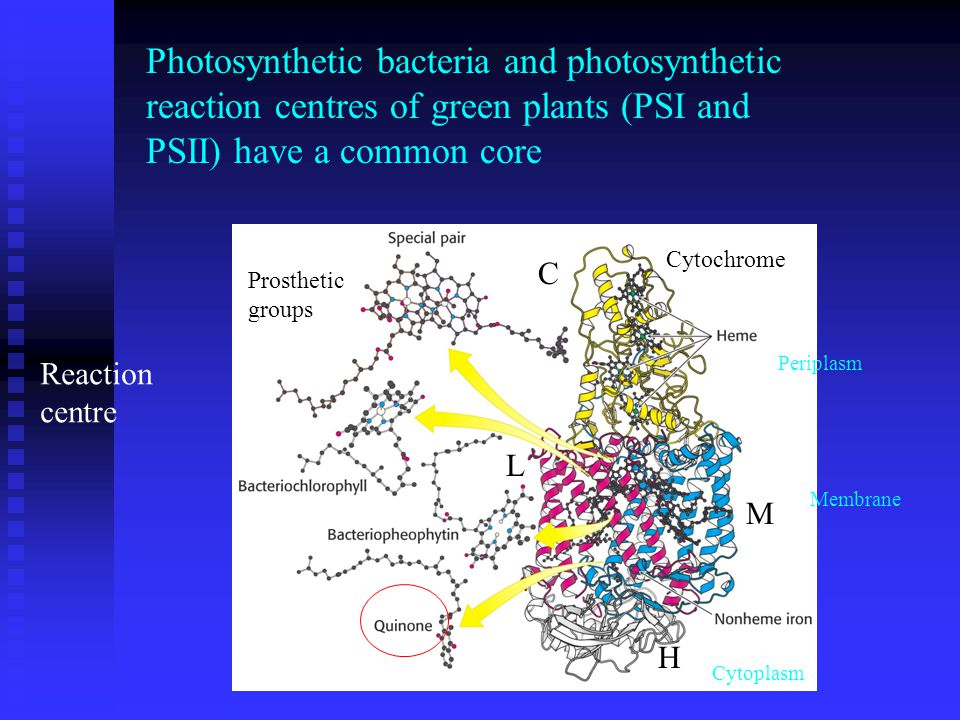 Photosynthetic bacteria and photosynthetic reaction centres of green plants (PSI and PSII) have a common core Cytochrome L M H Prosthetic groups C Reaction centre Cytoplasm Periplasm Membrane