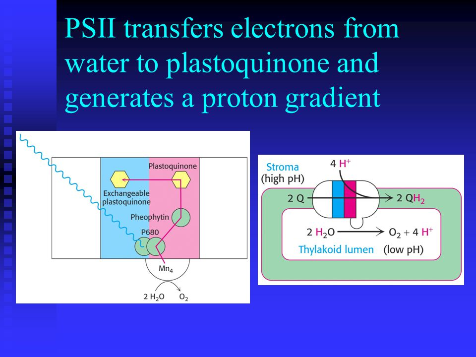 PSII transfers electrons from water to plastoquinone and generates a proton gradient