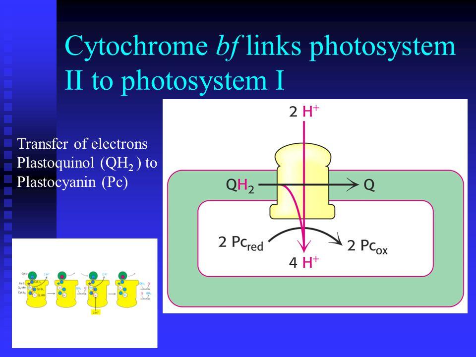 Cytochrome bf links photosystem II to photosystem I Transfer of electrons Plastoquinol (QH 2 ) to Plastocyanin (Pc)