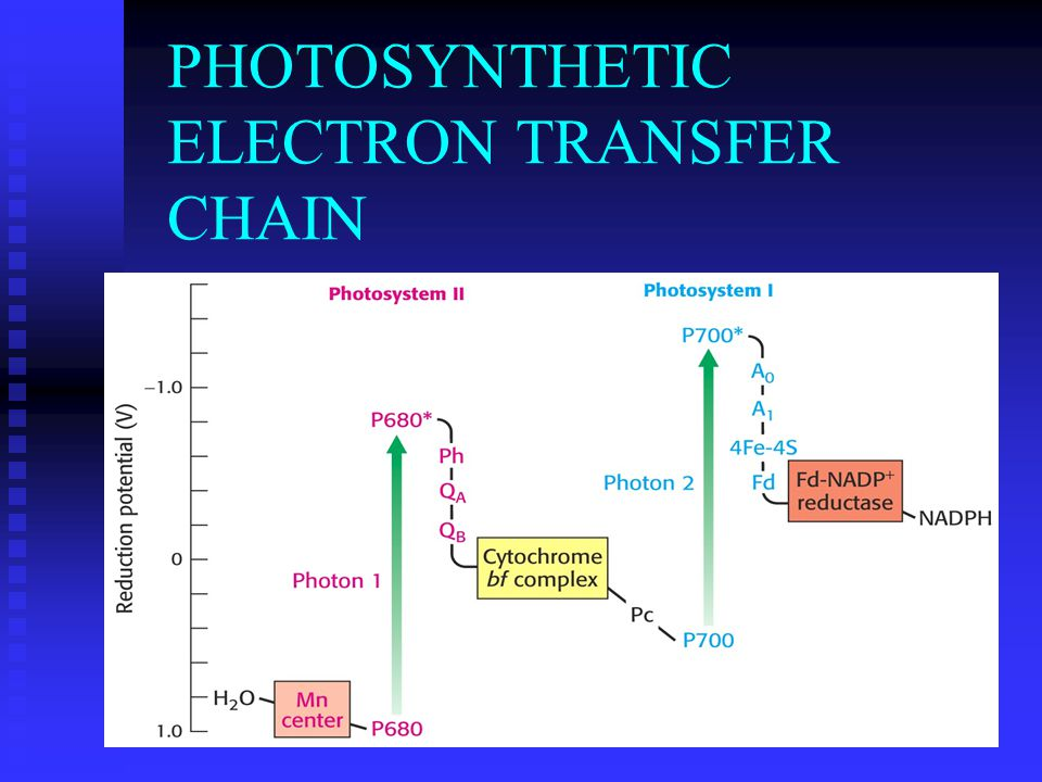 PHOTOSYNTHETIC ELECTRON TRANSFER CHAIN