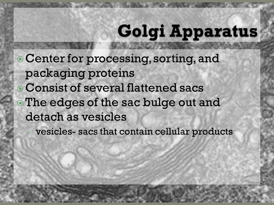  Center for processing, sorting, and packaging proteins  Consist of several flattened sacs  The edges of the sac bulge out and detach as vesicles vesicles- sacs that contain cellular products