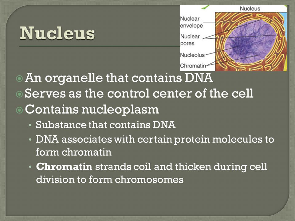  An organelle that contains DNA  Serves as the control center of the cell  Contains nucleoplasm Substance that contains DNA DNA associates with cer