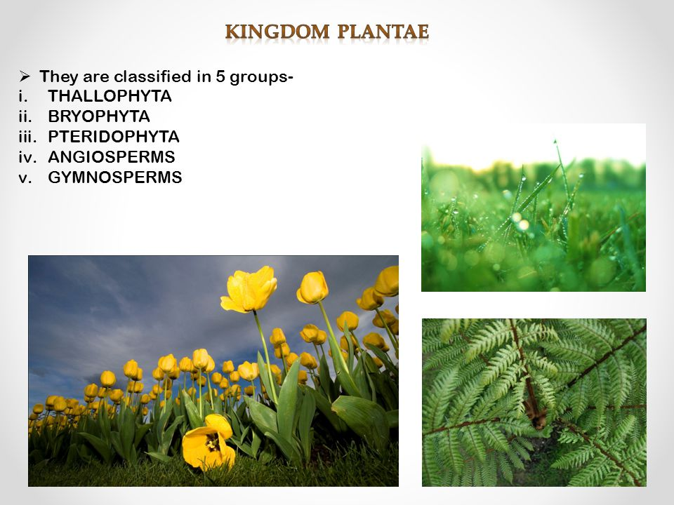  They are classified in 5 groups- i.THALLOPHYTA ii.BRYOPHYTA iii.PTERIDOPHYTA iv.ANGIOSPERMS v.GYMNOSPERMS