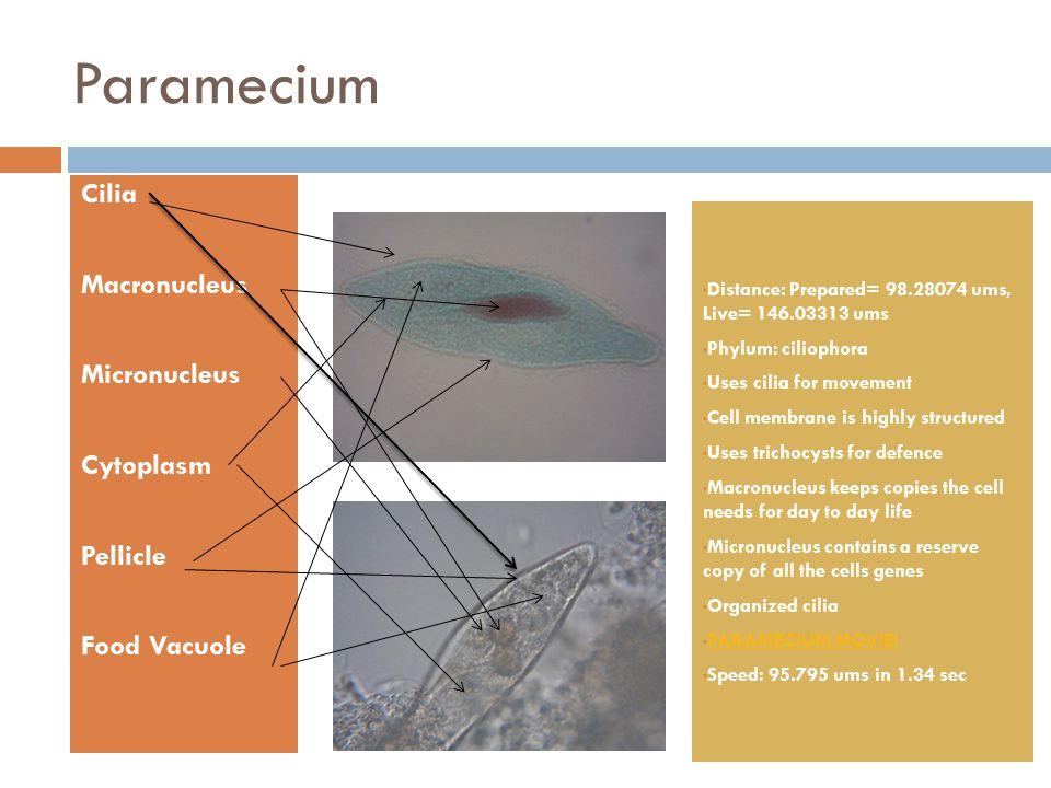 Paramecium Cilia Macronucleus Micronucleus Cytoplasm Pellicle Food Vacuole Distance: Prepared= 98.28074 ums, Live= 146.03313 ums Phylum: ciliophora Us