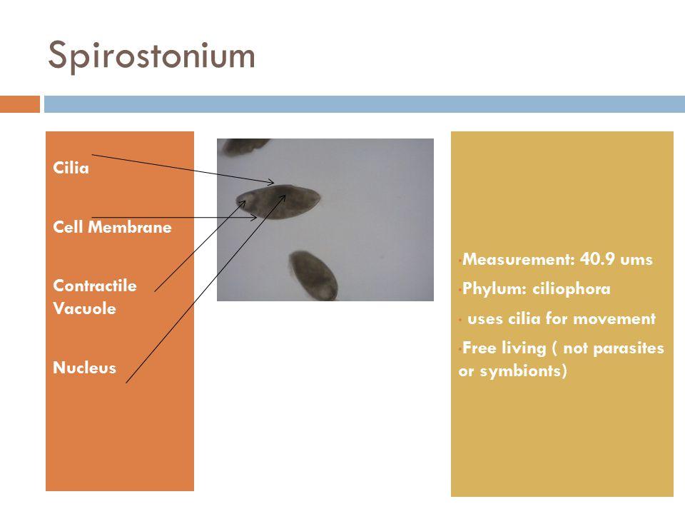 Spirostonium Cilia Cell Membrane Contractile Vacuole Nucleus Measurement: 40.9 ums Phylum: ciliophora uses cilia for movement Free living ( not parasi