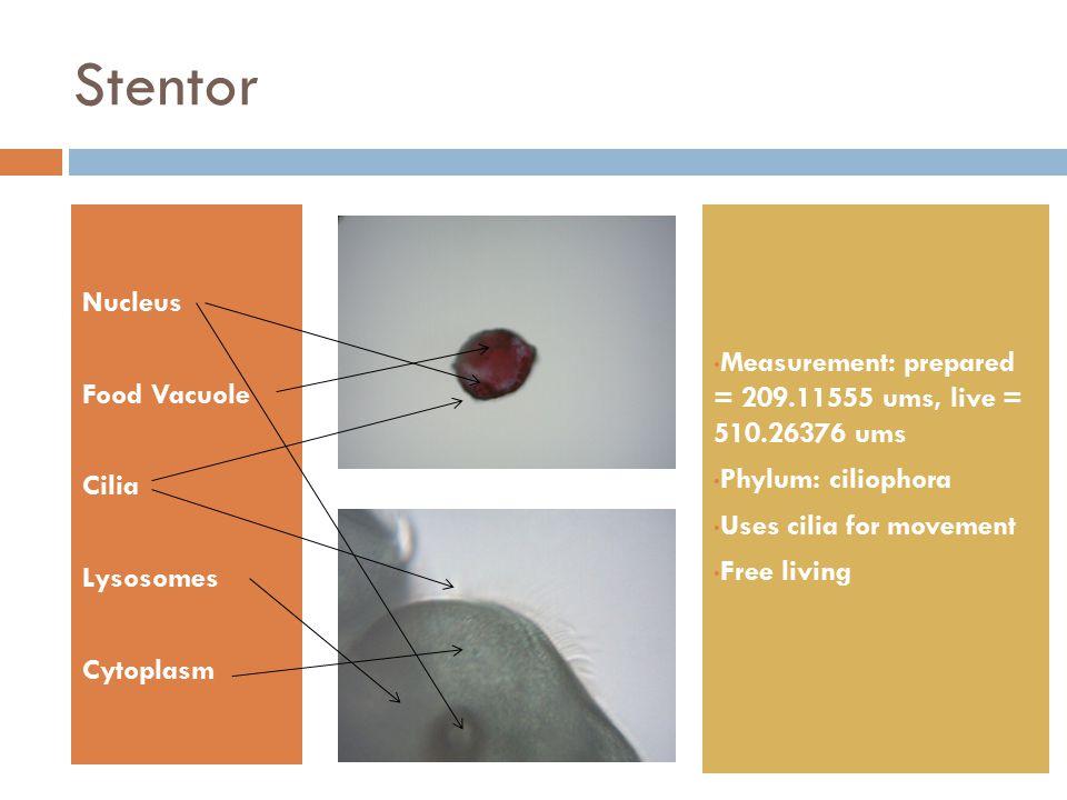 Stentor Nucleus Food Vacuole Cilia Lysosomes Cytoplasm Measurement: prepared = 209.11555 ums, live = 510.26376 ums Phylum: ciliophora Uses cilia for m