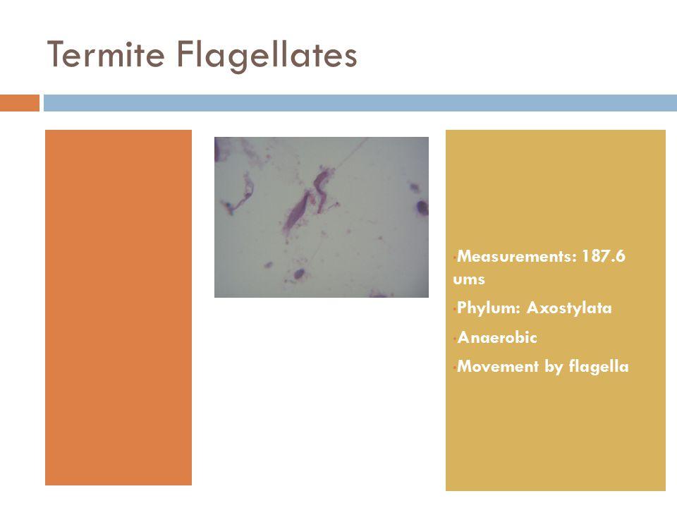 Termite Flagellates Measurements: 187.6 ums Phylum: Axostylata Anaerobic Movement by flagella