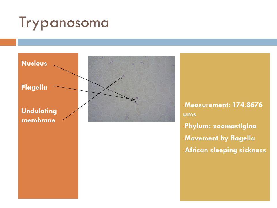 Trypanosoma Nucleus Flagella Undulating membrane Measurement: 174.8676 ums Phylum: zoomastigina Movement by flagella African sleeping sickness