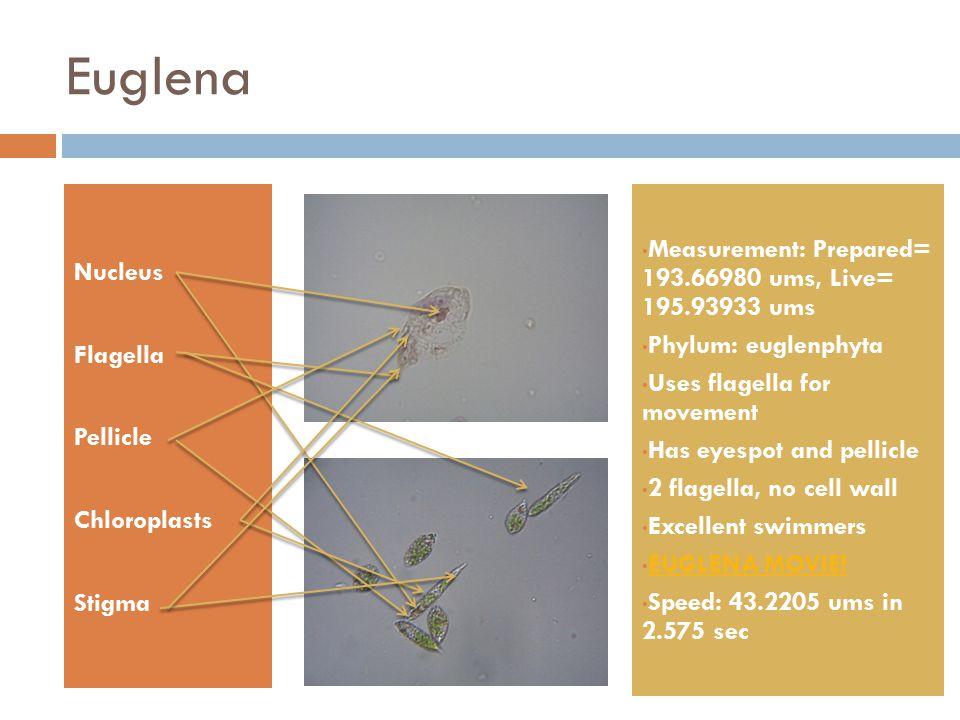 Euglena Nucleus Flagella Pellicle Chloroplasts Stigma Measurement: Prepared= 193.66980 ums, Live= 195.93933 ums Phylum: euglenphyta Uses flagella for