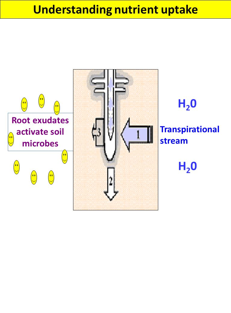 Understanding nutrient uptake Transpirational stream Root growth H20H20 H20H20 Root exudates activate soil microbes