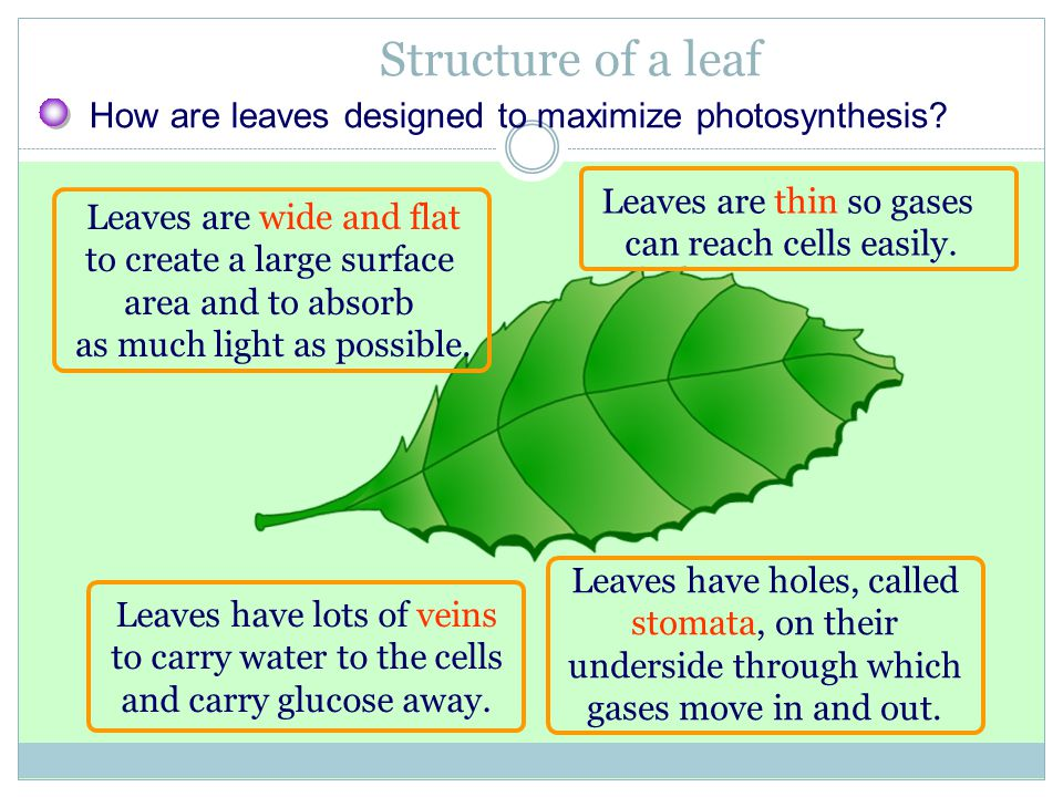 Structure of a leaf How are leaves designed to maximize photosynthesis? Leaves are wide and flat to create a large surface area and to absorb as much