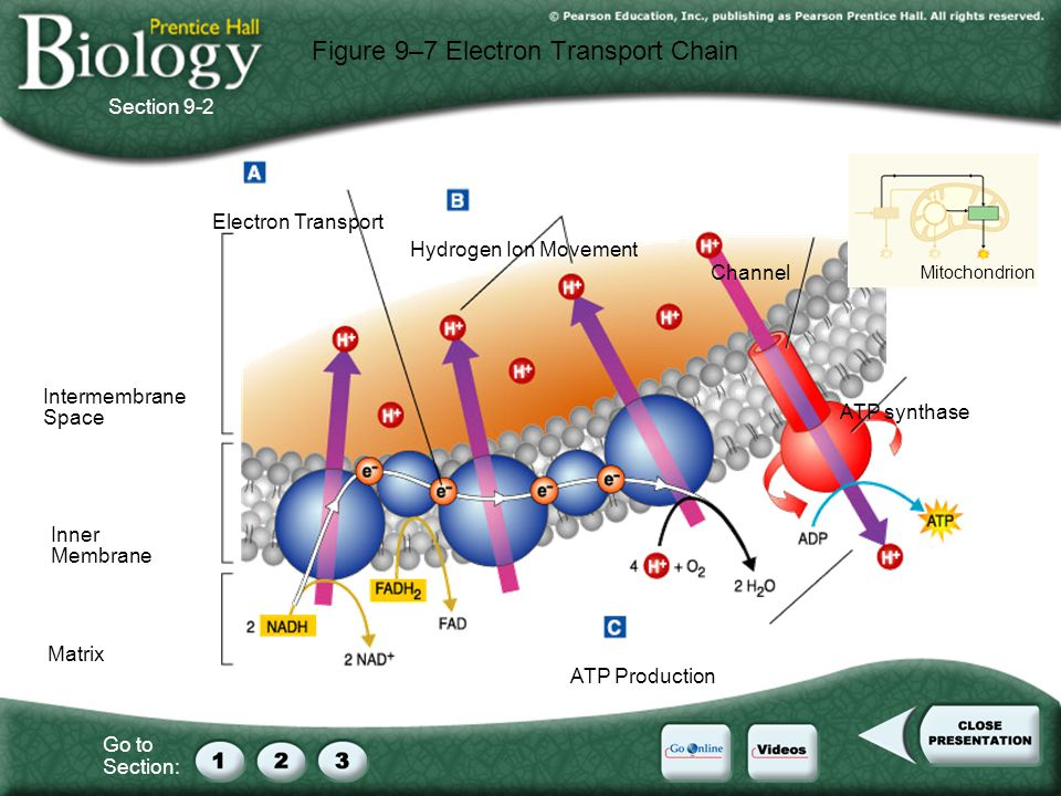 Go to Section: Figure 9–7 Electron Transport Chain Section 9-2 Electron Transport Hydrogen Ion Movement ATP Production ATP synthase Channel Inner Membrane Matrix Intermembrane Space Mitochondrion