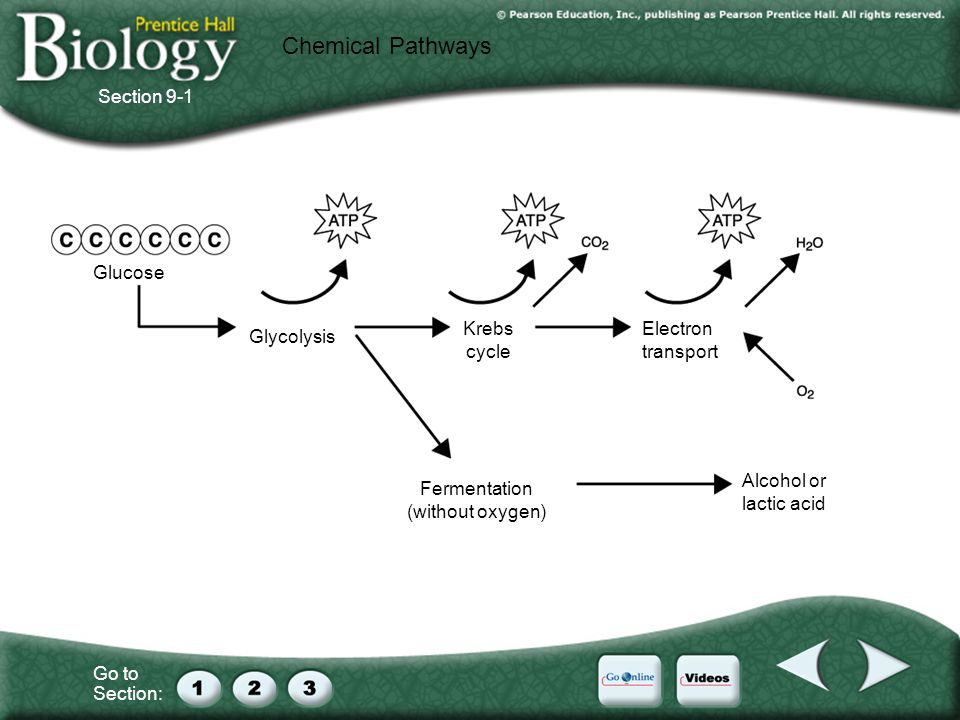 Go to Section: Glucose Glycolysis Krebs cycle Electron transport Fermentation (without oxygen) Alcohol or lactic acid Chemical Pathways Section 9-1