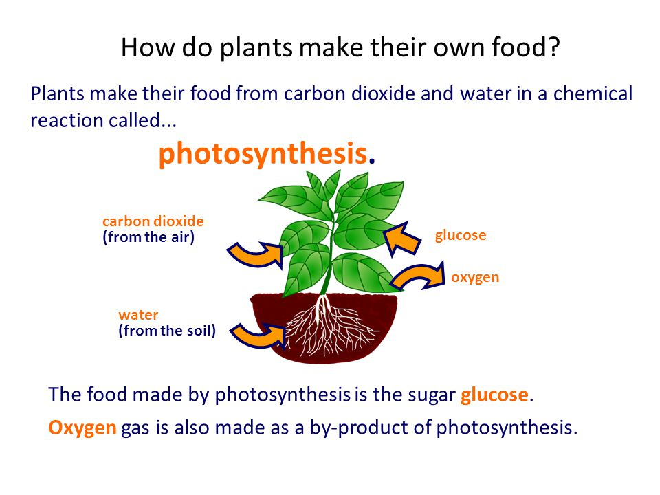 How do plants make their own food? Plants make their food from carbon dioxide and water in a chemical reaction called... photosynthesis. The food made
