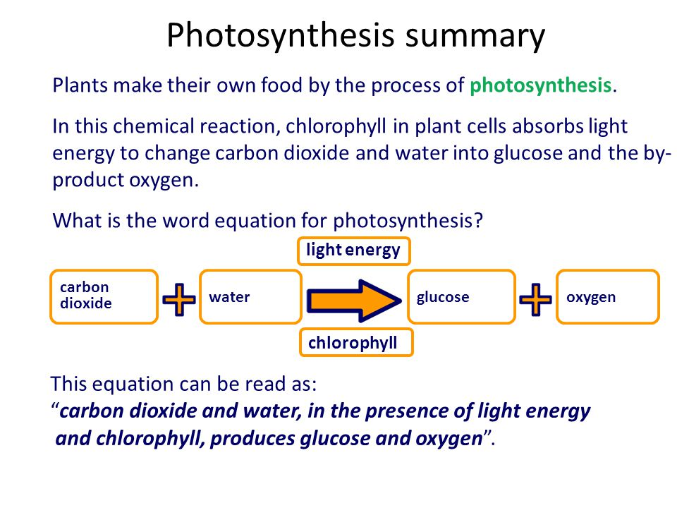 Photosynthesis summary Plants make their own food by the process of photosynthesis. In this chemical reaction, chlorophyll in plant cells absorbs ligh