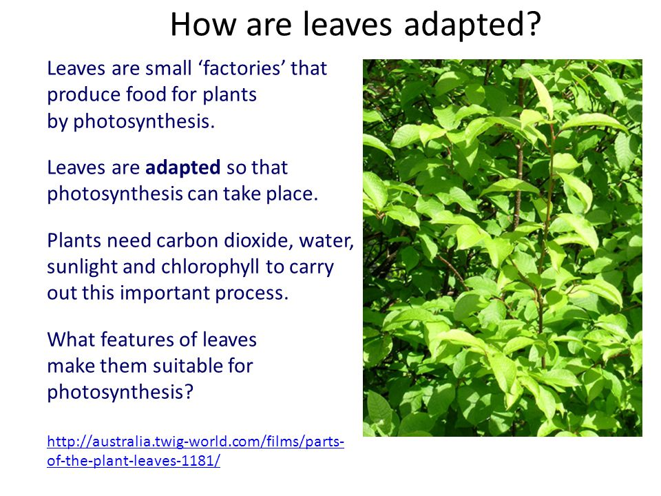 How are leaves adapted.
