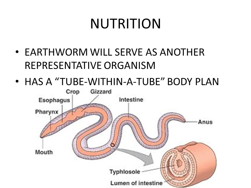 "NUTRITION EARTHWORM WILL SERVE AS ANOTHER REPRESENTATIVE ORGANISM HAS A ""TUBE-WITHIN-A-TUBE"" BODY PLAN"