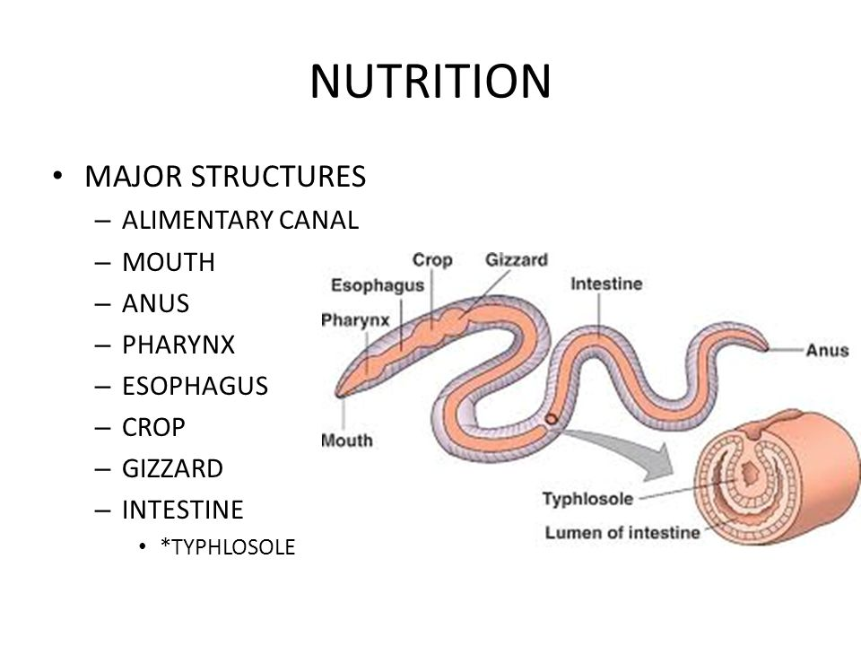 NUTRITION MAJOR STRUCTURES – ALIMENTARY CANAL – MOUTH – ANUS – PHARYNX – ESOPHAGUS – CROP – GIZZARD – INTESTINE *TYPHLOSOLE