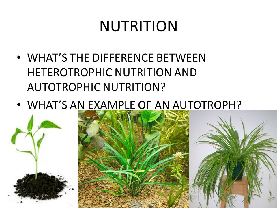 NUTRITION WHAT'S THE DIFFERENCE BETWEEN HETEROTROPHIC NUTRITION AND AUTOTROPHIC NUTRITION? WHAT'S AN EXAMPLE OF AN AUTOTROPH?
