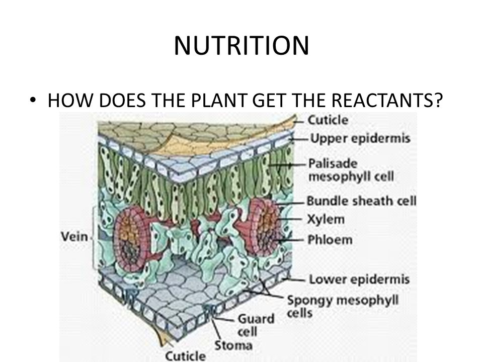 NUTRITION HOW DOES THE PLANT GET THE REACTANTS