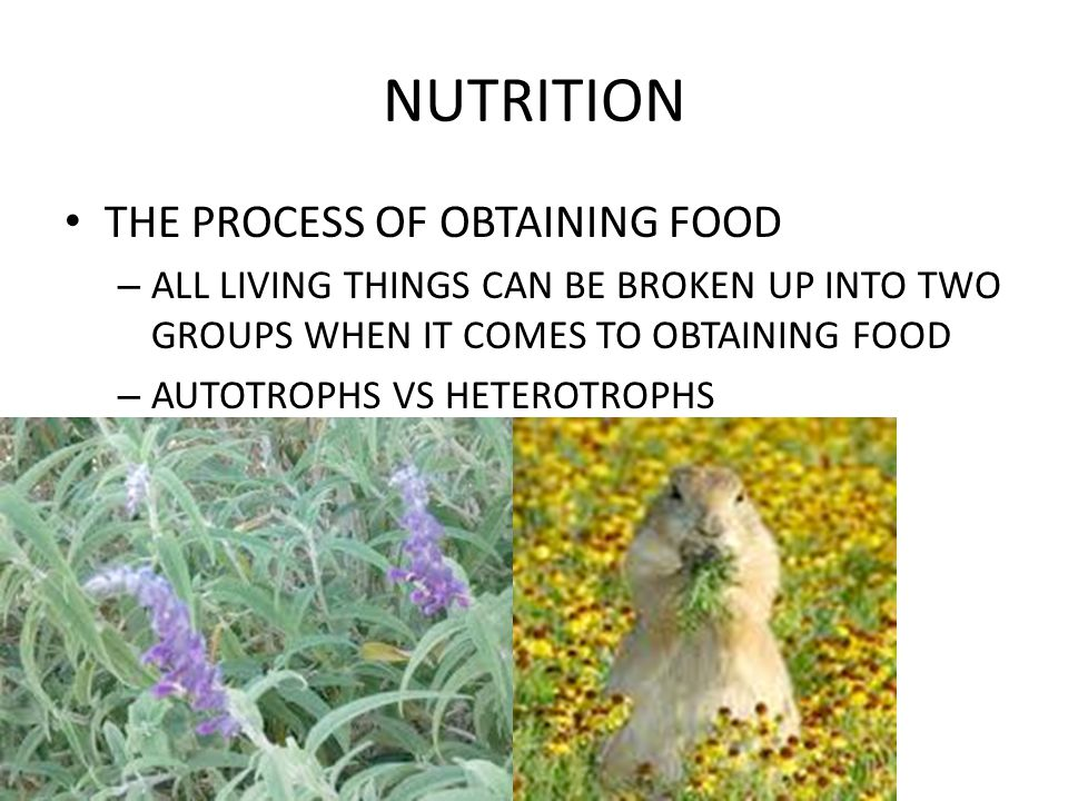 NUTRITION MAJOR STRUCTURES: – MOUTH – ESOPHAGUS – SALIVARY GLANDS – CROP – GIZZARD – GASTRIC CECAE – STOMACH – INTESTINE – RECTUM – ANUS