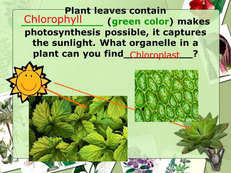 Plant leaves contain _____________ (green color) makes photosynthesis possible, it captures the sunlight.