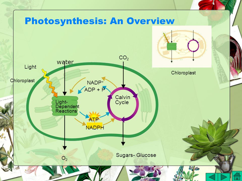 Chloroplast Light O2O2 Sugars- Glucose CO 2 Light- Dependent Reactions Calvin Cycle NADPH ATP ADP + P NADP + Chloroplast Photosynthesis: An Overview Go to Section: water
