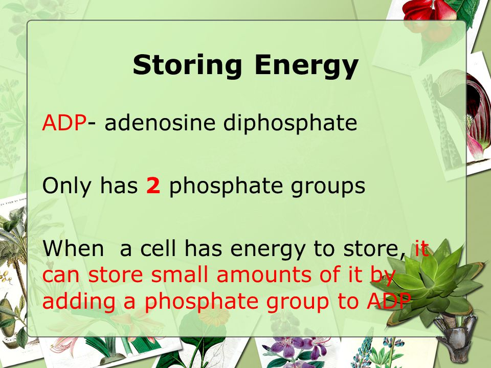 Storing Energy ADP- adenosine diphosphate Only has 2 phosphate groups When a cell has energy to store, it can store small amounts of it by adding a phosphate group to ADP
